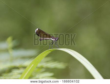 Big shiny eyed damselfly on top of a curved long leaf