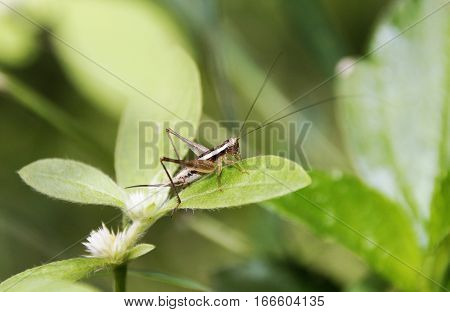 A small silky and shiny skinned brown grasshopper
