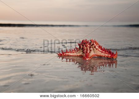 Red starfish on the Beach. Travel collection. poster