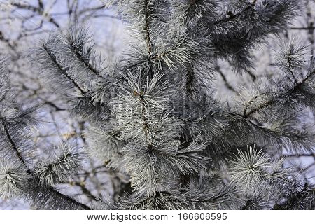 Snowy pine needles generic background for winter