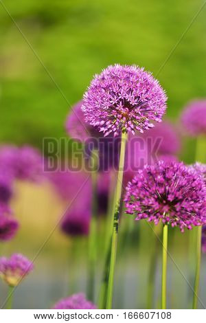 giant purple allium flower field in spring