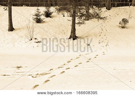 winter landscape and traces on snow on a glade in the forest park of color sepia