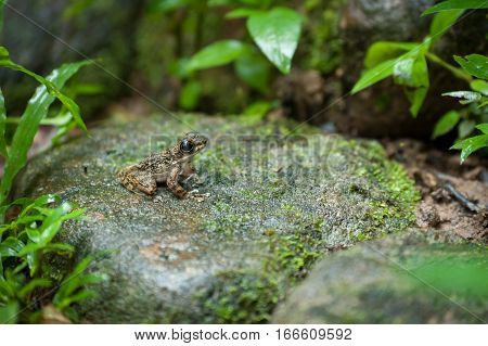 Common frog macro portrait in its environment. Thailand