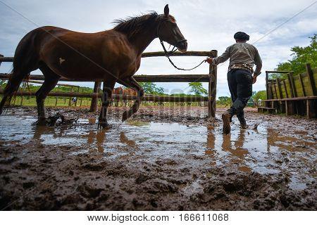 San Antonio de Areco, Argentina - Nov 13, 2016: A gaucho cowboy leading a horse in a paddock on November 13, 2016 in San Antonio De Areco, Argentina.