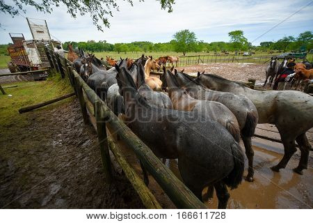 San Antonio de Areco, Argentina - Nov 13, 2016: Horses loading to a horse box on November 13, 2016 in San Antonio De Areco, Argentina.