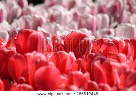 Red And Pink Tulips In Keukenhof Flower Garden. Netherlands