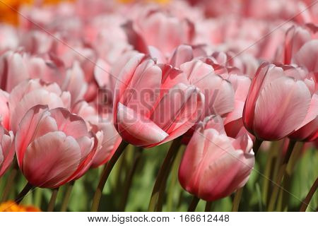 Pink Tulips In Keukenhof Flower Garden. Netherlands