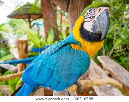 Parrot blue and yellow macaw with nice feathers details at Songkhla Thailand