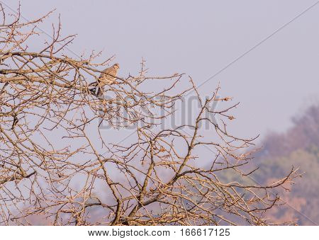 Single pigeon perched in a tree with a overcast sky in the background