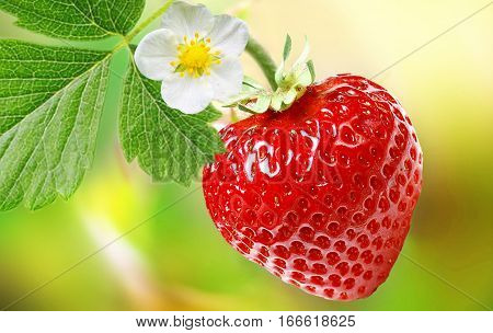 cultivation of large-fruited strawberry all year round.Strawberry