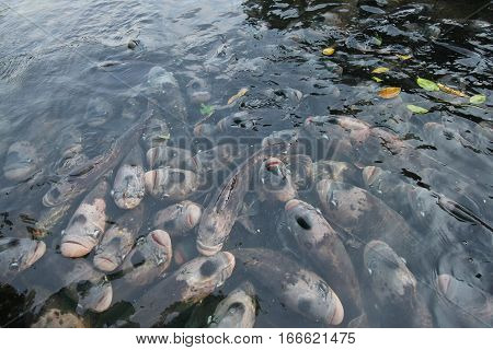 Giant Gourami In Pond