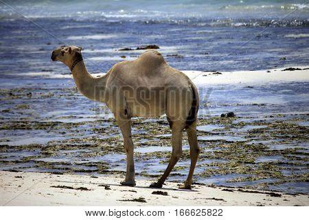 Camel Walking Along The Shore Of The Ocean
