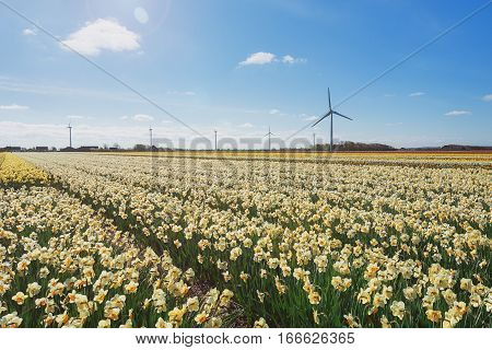 Field with varieties of daffodils in the province of North Holland Netherlands.