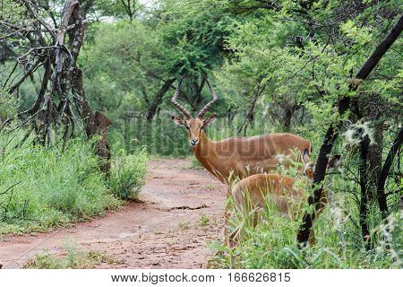 Impala male looking down the rood to see if its save to cross