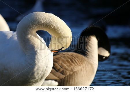 A mute swan and Canada Goose preening side by side