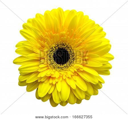 gerbera flowers. yellow gerbera. yellow gerbera isolated on white background
