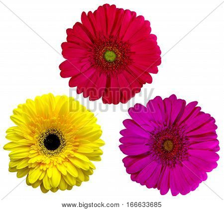 gerbera flowers isolated on white background. yellow gerbera. red gerbera. purple gerbera