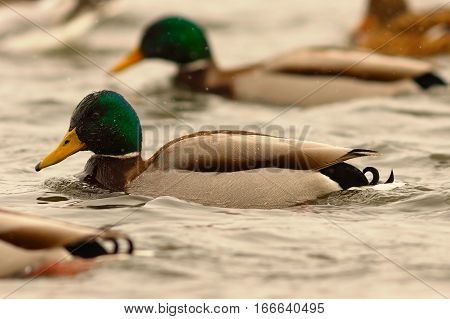 male mallard duck swimming on river with his flock in a winter day ( Anas platyrhynchos )