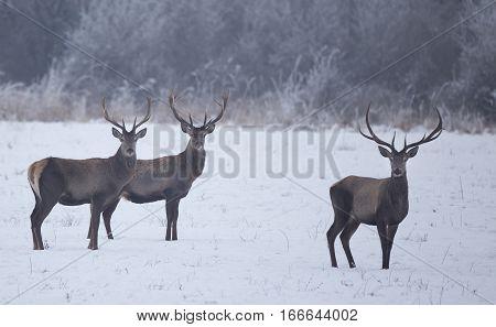 Red Deers In Snow