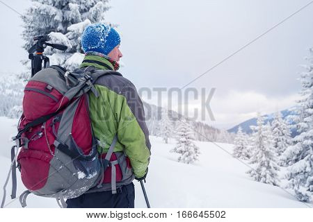 Man with backpack goes through snow covered pine forest in the winter mountains after a snowstorm. Back view.