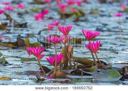 The Lotus Flower.Background is the leaf and bud of lotus flower.
