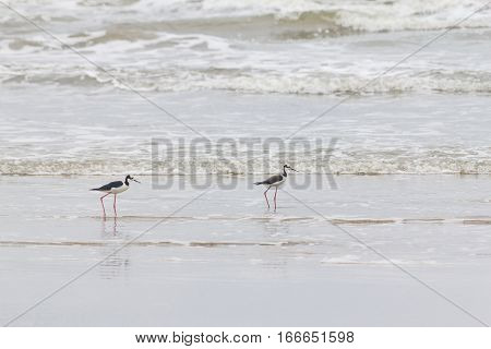 Couple Of Black-winged Stilt On The Beach
