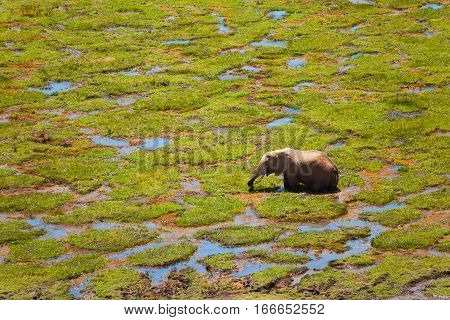 Top view of African elephant standing in fen and eating lush grass at Maasai Mara National Reserve, Kenya