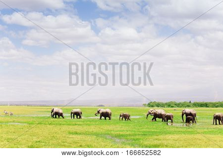 A big herd of African elephants with cubs walking in single file, Amboseli National Park, Kenya