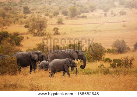 Family of African elephants with calf on their way back from feeding in swamps, Kenya