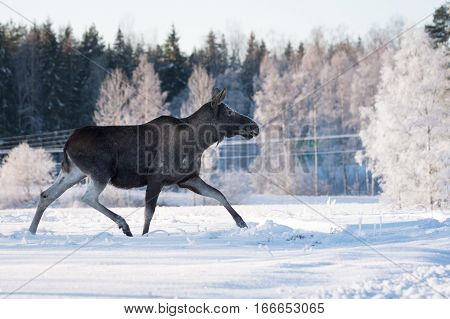 Mother moose trotting in snow on a sunny winter day in Sweden same posiyion as the Swedish road signs.