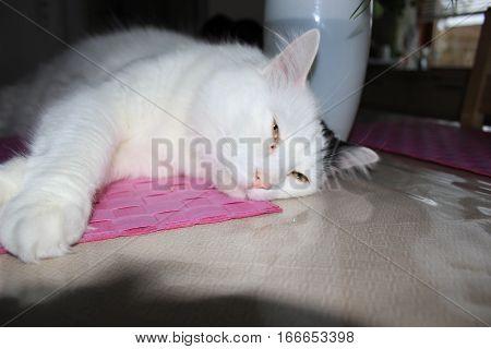 Cat breed Turkish Van or Turkish Angora