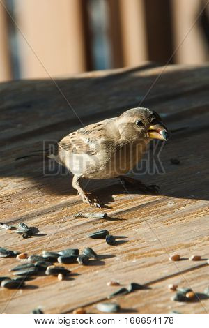 Sparrow pecks grain and seeds on a wooden table