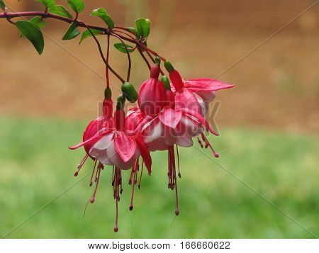 Red And White Fuchsias, With Blurred Back Ground 12aas