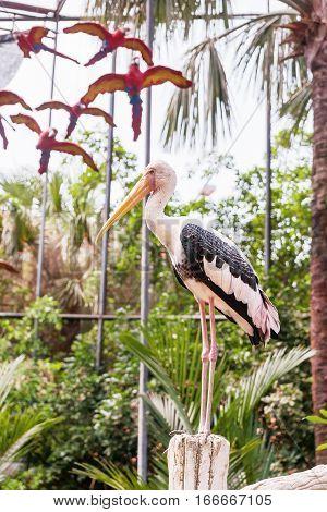 The milky stork (Mycteria cinerea). Big bird with yellow beak. Malaysia.