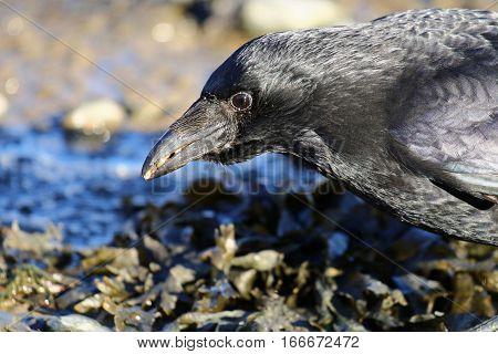 A carrion crow feeding among seaweed and rocks