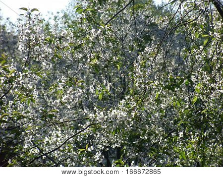 The cherry blossoms in spring this stunner. Delicate and fragile flowers fascinate you with their purity poster