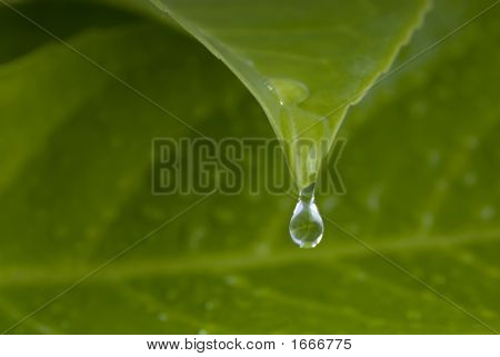 Water Drops From Leaf
