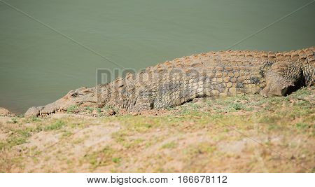 Crocodile in the Etosha National Park in Namibia South Africa