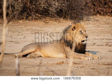 Lion in the Etosha National Park in Namibia South Africa