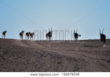 Oryx antelopes in the Etosha National Park, Namibia South Africa