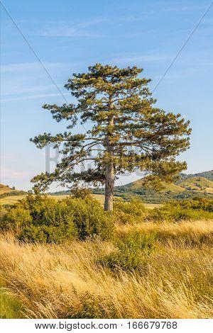 Pine tree with blue sky, summer season