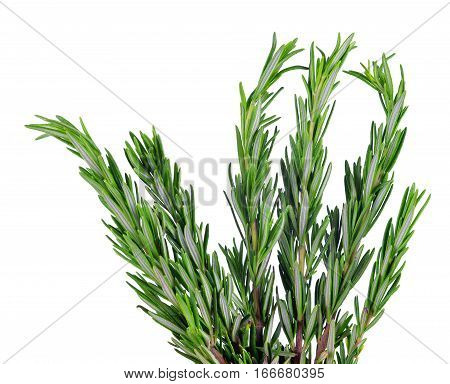 Scented herb Rosemary isolated on white background.