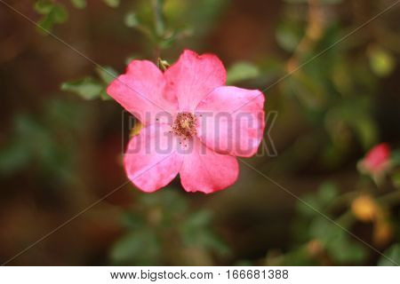 A pink antique variety of rose is seen close up in a garden in shade