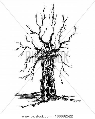 Vector sketch krona and trunk of a tree without leaves isolated white background.