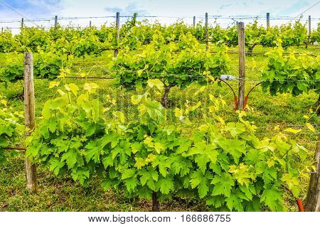 Hdr Vineyard Plants