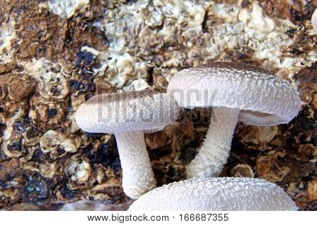 Shiitake mushroom culture on substrate (Lentinula edodes)