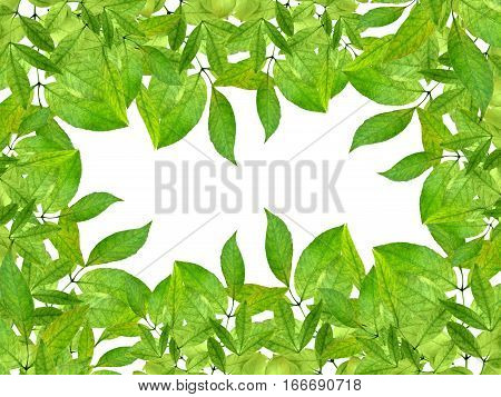 frame from green leaves isolation on a white background without shadows. Background spring. Ornament natural. Summer. Floral design.