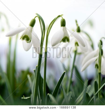 Spring flowers in a garden. Snowdrops (Galanthus)