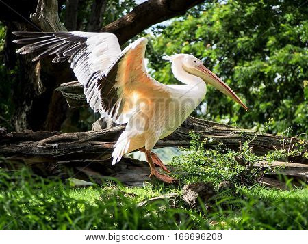 A great white pelican spreading its wings.