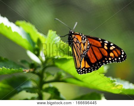 A monarch butterfly perched on a leaf.